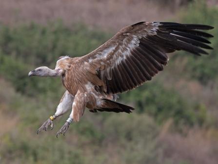 Griffon_vulture_landing.jpg