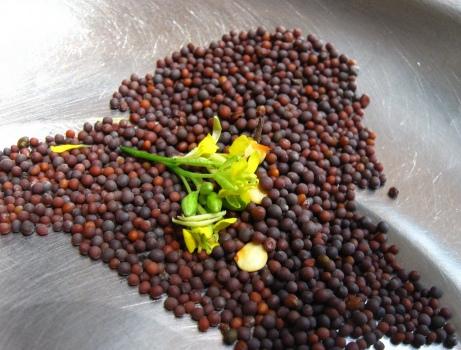 mustard-seeds